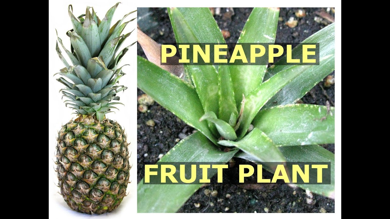 How To Grow Pineapple Fruit Plant Using Crown Top