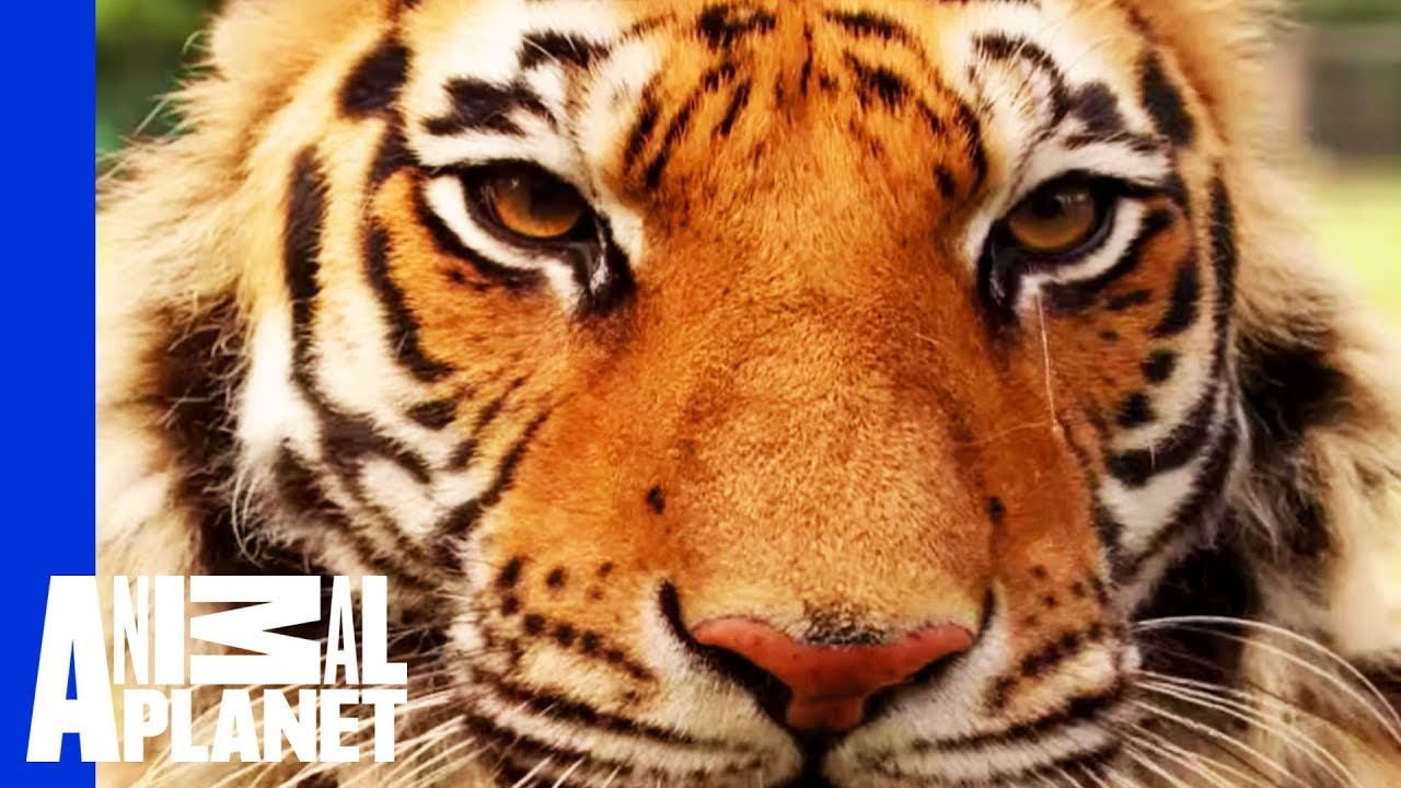 A Bear Lion And Tiger Form An Inseparable Trio YouTube - Lion tiger bear best friends