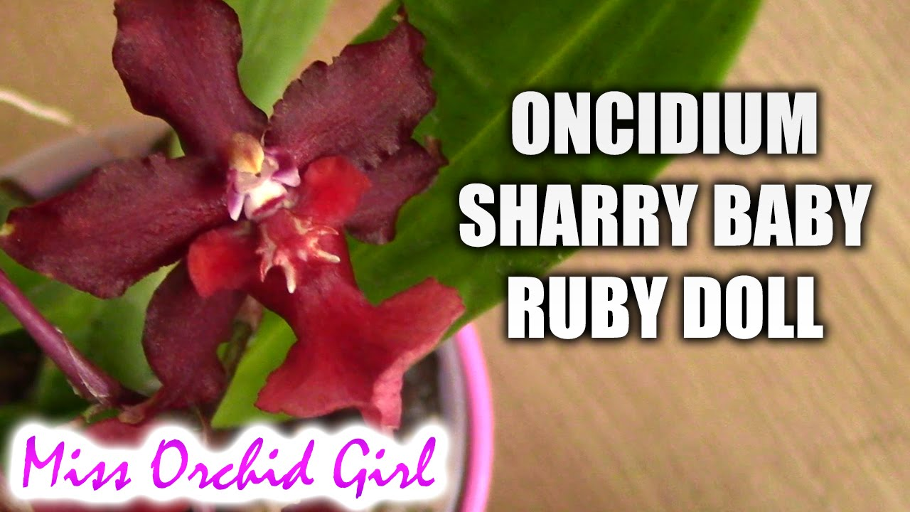 Oncidium Sharry Baby Ruby Doll Omg A Red Chocolate