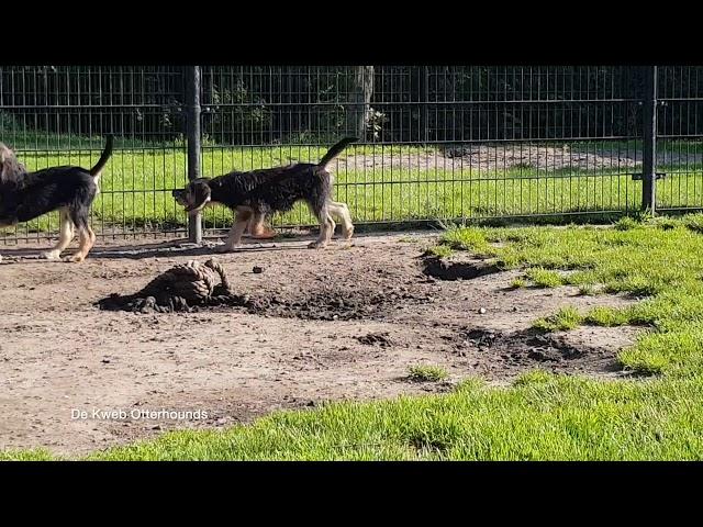 De Kweb Otterhounds        3,5 months