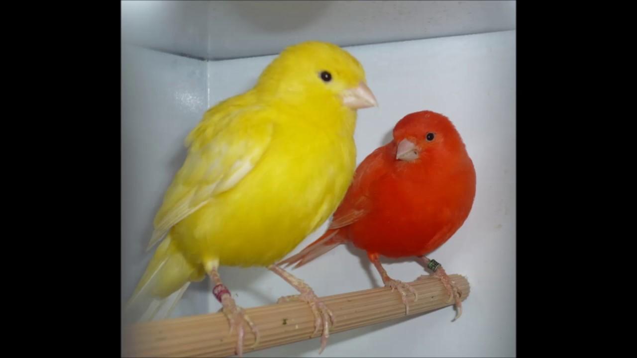 صوت عصفور الكناري اصوات الحيوانات Voice Canary Voices Of Animals Youtube