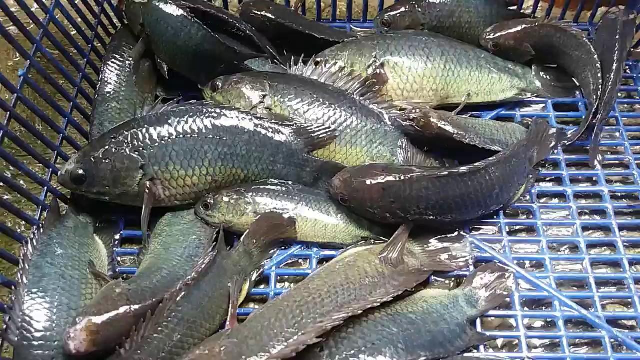 Unduh 83 Gambar Ikan Betok HD Gratis