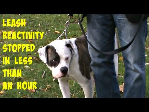 Bleu - Leash reactivity stopped in less than an hour