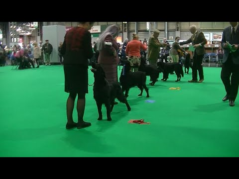 Flat coated Retriever Crufts 2020