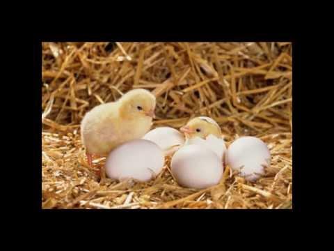 Con gà - Dạy bé tập nói, nhận biết về các con gà