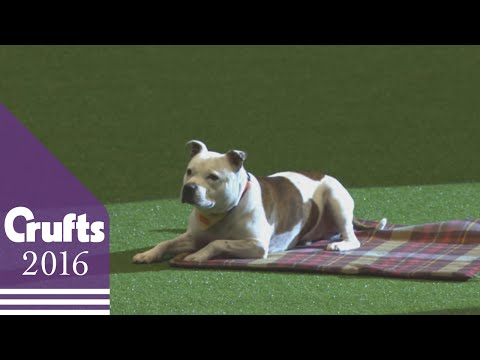 East Anglian Staffordshire Bull Terrier Display Team | Crufts 2016
