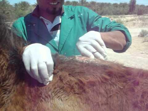 action Vétérinaire SPANA TUNISIE à Kébili