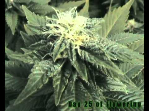 how to tell if my autoflower is ready for harvest