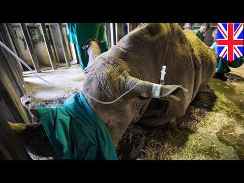 Northern white rhino: UK scientists attempt IVF method to save species from extinction - TomoNews