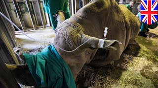 Northern white rhino: UK scientists attempt IVF method to save species from extinction - TomoNews