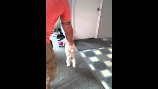 Polly The Walking Dog! For Frosty Paws Ice Cream :) Havashu Havanese Shih Tzu