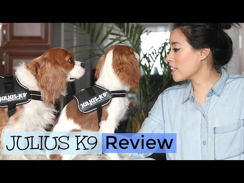 Julius K9 Harness Review |No Pull Harness |Herky the Cavalier King Charles Spaniel