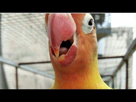 Suara pancingan ngekek lovebird ngetik agar cepet bunyi