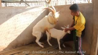 Козловой Фермы, Ничего Себе Этот Удивительный Молодой Коз, Молодой Козел И Молодая Коза Кошка Кроше