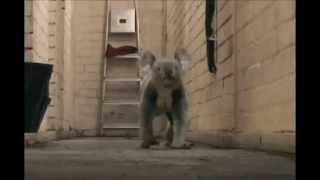 コアラは動物園でしか見たことがない。 確かに、彼らの「真の姿」を知ら...