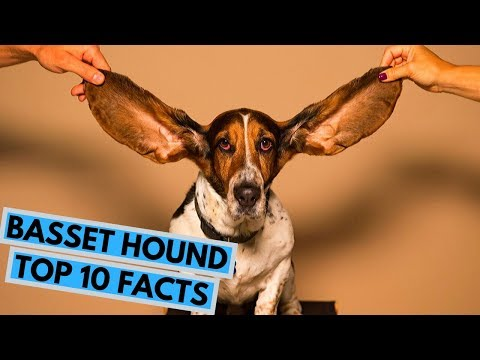Basset Hound  TOP 10 Interesting Facts