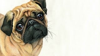 Pug Drawing Time Lapse
