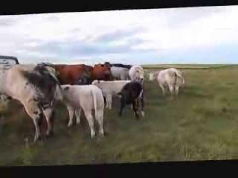 El Shaddai Farms Herd - Summer 2013