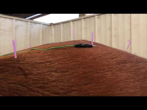 Muscle twitching during electroacupuncture.