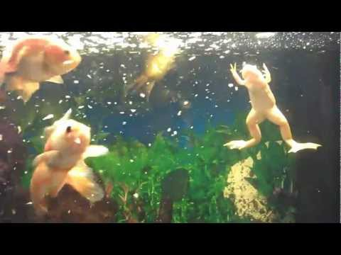 Feeding Albino Clawed Frog & Gold Fish