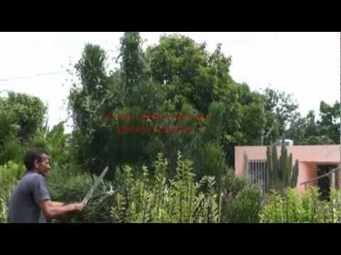 Production of the Bioenergy Crop Euphorbia tirucalli.flv
