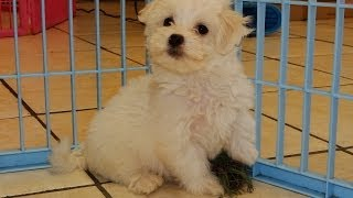 Maltese, Puppies, For, Sale, In, Little Rock, Arkansas, Ar, Russellville, Jacksonville, Sherwood, Te