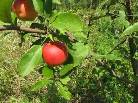 Сорт яблок Катерина
