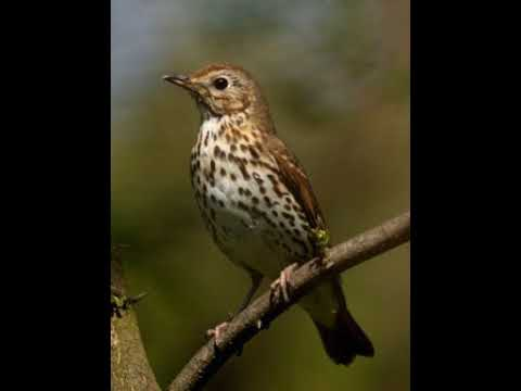 Richiamo del Tordo Bottaccio (song thrush )