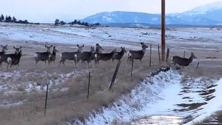 Wild Deer Jumping Fence or Not