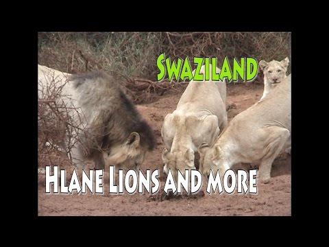 Lions and more in Hlane Park Swaziland
