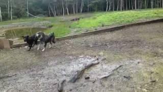 Patterdale Terriers And Schnauzer Swimming.avi
