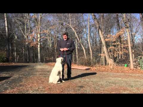 winston-salem-dog-training-|-american-bulldog-puppy-training---two-jay