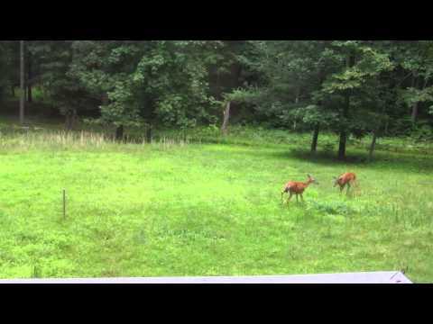 Berry Hollow Deer Capers