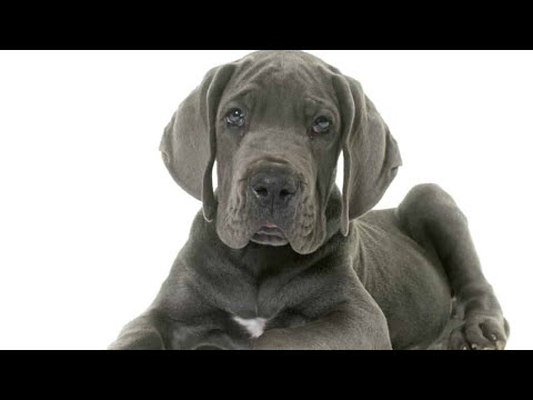 Dog breed - GreatDane dog puppy available,Great Dane Dog for matting/cross BY - Brother's petcare