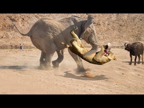 Смотреть СЛОН В ДЕЛЕ! Слон против львов, крокодилов, носорогов... онлайн