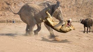 Смотреть клип СЛОН Р' ДЕЛЕ! Слон против львов, крокодилов, РЅРѕСЃРѕСЂРѕРіРѕРІ... онлайн