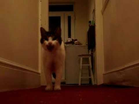 My cat Tiggy talking / speaking saying hello