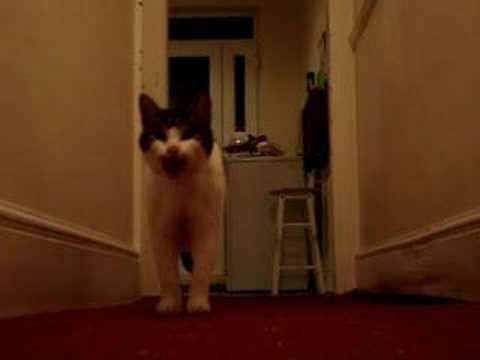 My cat Tiggy talking / speaking saying hello