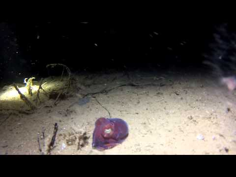 Stubby Squid (Rossia pacifica)