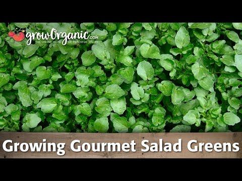 How to Grow Gourmet Salad Greens