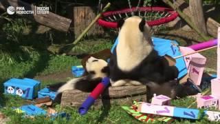 День рождения панд
