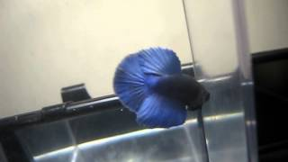 Royal Blue Young HM Male