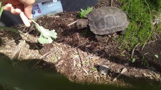 Hand feeding mountain tortoises