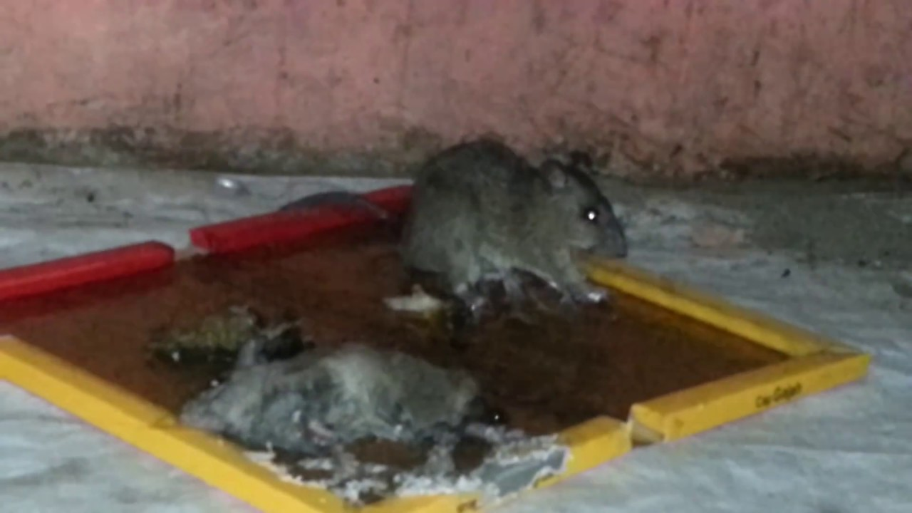 Lem Tikus Yang Ampuh Semalam Langsung Youtube