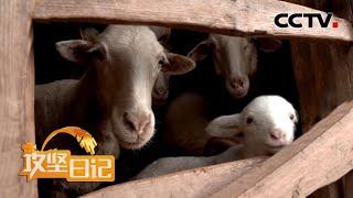 《我的攻坚日记》 20210404 观折腾猪鸡羊 见尴尬办执照|CCTV农业 - YouTube