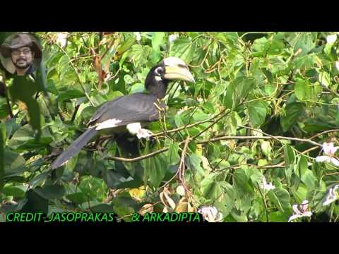 Pied Hornbill A Bird Video.