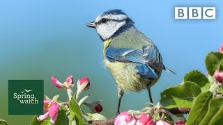Our spring wildlife webcams live! 🐤🦊🐿 - Thu 28 May - Springwatch - BBC