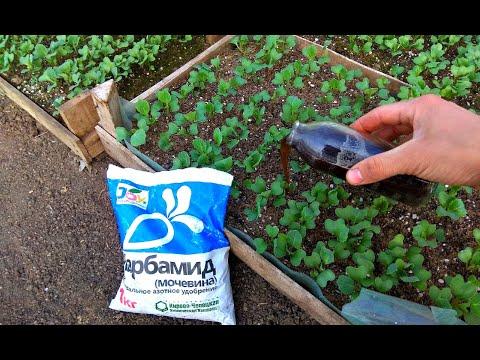 Рассада капусты будет ТОЛСТОЙ и КРАСИВОЙ. Секреты выращивания рассады. | цветочный | тепличный | рассадный | огородник | толстая | теплица | рассада | капуста | агроном | огород