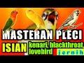 Masteran Pleci Isian Kenari Blackthroat Dan Lovebird Mempercepat Pleci Buka Paruh  Mp3 - Mp4 Download