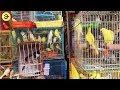 Cửa hàng chim cảnh Lớn Nhất SÀI GÒN - Bán chim Chợ chim lớn tp.hcm